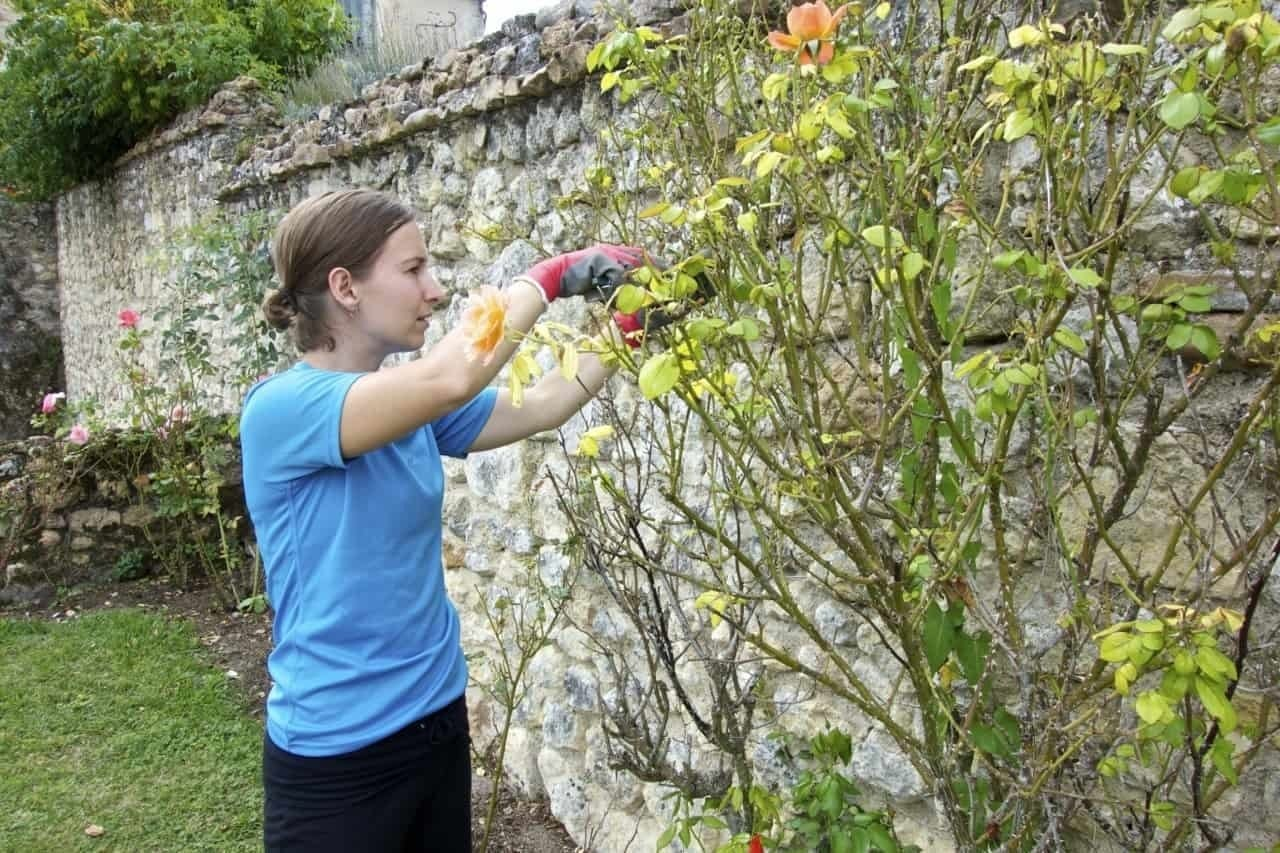 pruning roses - at helpexchange in Loire France Castle